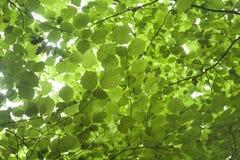 Grünes Haselnußlaub Lizenzfreie Stockfotografie