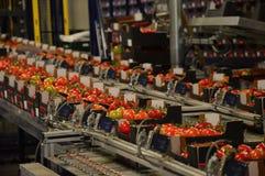 Grünes Haus-Tomaten-Versand Stockfotografie