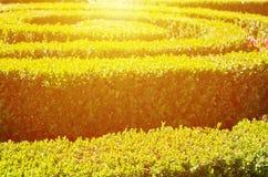 Grünes Heckenlabyrinth mit Sonnenlicht Stockfotografie