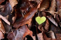 Grünes Herz des Blattes geformt Stockbild