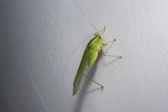 Grünes Heuschreckenkricket auf einer Hausmauer Lizenzfreie Stockfotografie