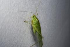 Grünes Heuschreckenkricket auf einer Hausmauer Lizenzfreie Stockfotos