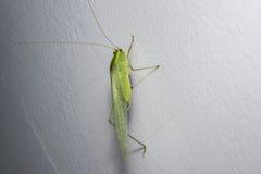 Grünes Heuschreckenkricket auf einer Hausmauer Lizenzfreie Stockbilder