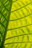 Grünes hintergrundbeleuchtetes riesiges Blatt Stockfoto