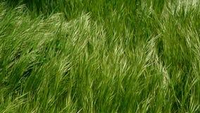 Grünes hohes Gras und Wind stock video