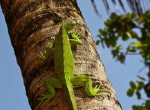 Grünes Iaguana Stockfotos