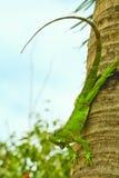 Grünes Iaguana Lizenzfreie Stockfotografie