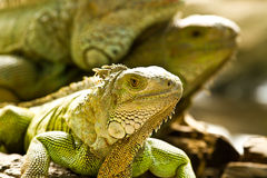 Grünes iguna Stockfotos