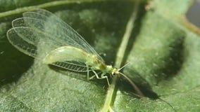 Grünes Insekt auf einem grünen Blatt stock footage