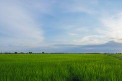 Grünes jüngeres Reisfeld auf blauem Himmel Lizenzfreies Stockfoto