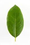 Grünes Jackfruitblatt lokalisiert auf weißem Hintergrund Stockbild