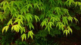 Grünes japanischer Ahorn-Laub Lizenzfreie Stockbilder