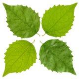 Grünes Jasminblatt Stockbild