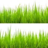 grünes junges Reispflanzeisolat auf weißem Hintergrund Stockbild
