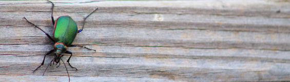 Grünes Käfer-schmales Lizenzfreie Stockbilder