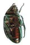Grünes Käferinsekt getrennt auf Weiß stockfoto