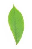 Grünes Kastanieblatt Stockfotos