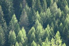 Grünes Kiefernholzmuster, schönes Naturdetail stockfotos