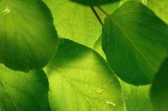 Grünes Kiwiblatt Lizenzfreie Stockfotografie