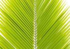 Grünes Kokosnussblatt lokalisiert Stockfoto