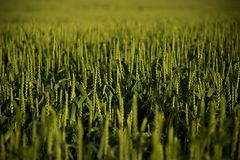 Grünes Korn Stockbild