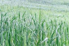 Grünes Korn auf dem Gebiet Stockfoto