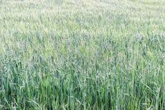 Grünes Korn auf dem Gebiet Lizenzfreie Stockfotografie
