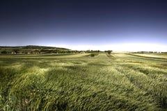 Grünes Korn am windigen Tag Lizenzfreie Stockfotografie