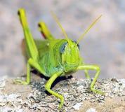 Grünes Kricket Stockbild