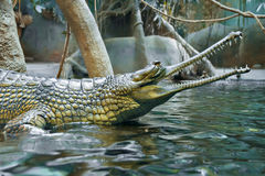 Grünes Krokodil am Zoo Prag Lizenzfreie Stockfotografie