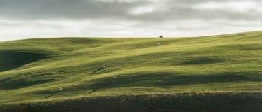 Grünes Kurvenfeld mit Menge von Schafen wenn Note das Licht Lizenzfreie Stockfotos