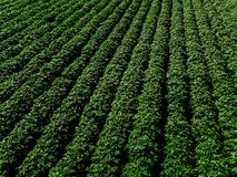 Grünes Landfeld der Kartoffel mit Reihe zeichnet, Draufsicht, Luftfoto Stockbilder