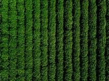 Grünes Landfeld der Kartoffel mit Reihe zeichnet, Draufsicht, Luftfoto Stockbild