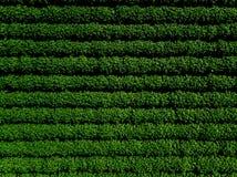 Grünes Landfeld der Kartoffel mit Reihe zeichnet, Draufsicht, Luftfoto Lizenzfreie Stockbilder