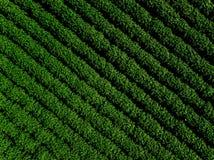Grünes Landfeld der Kartoffel mit Reihe zeichnet, Draufsicht, Luftfoto Lizenzfreies Stockfoto