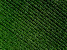 Grünes Landfeld der Kartoffel mit Reihe zeichnet, Draufsicht, Luftfoto Stockfotos