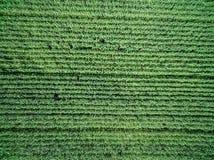 Grünes Landfeld mit Reihe zeichnet, Draufsicht Stockfotografie