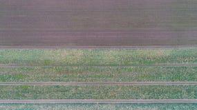 Grünes Landfeld mit Reihe zeichnet, Draufsicht, Luftfoto stockfotos
