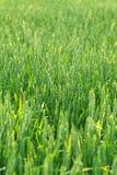 Grünes landwirtschaftliches Feld Stockfotos