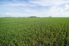 Grünes landwirtschaftliches Feld Lizenzfreies Stockfoto