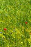 Grünes landwirtschaftliches Feld mit Stockbild