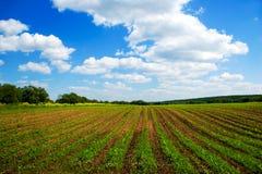 Grünes landwirtschaftliches Saufeld und blauer Himmel Stockbild