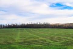Grünes landwirtschaftliches Saufeld und blauer Himmel im Land am schönen Sommertag Lizenzfreie Stockfotografie