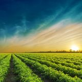 Grünes Landwirtschaftsfeld im Sonnenuntergang Stockbild