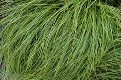 Grünes langes Gras auf einem Busch nach einem leichten Regen stockfotos