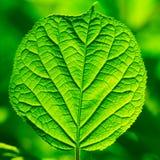 Grünes Laub Lizenzfreie Stockfotos