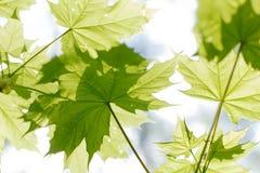 Grünes Laub Lizenzfreies Stockbild
