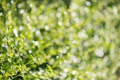 Grünes Laub der Nahaufnahme und selektive flache Abteilung des Feldes Lizenzfreie Stockfotografie