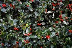 Grünes Laub der Stechpalme mit roten Beeren, verlässt Hintergrund, Beschaffenheit lizenzfreies stockbild