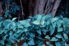Grünes Laub des Efeus des Teufels, goldener Pothos, die Robe des Jägers, Epipremnum aureum, das Lebenslauf mit dem Kopfe stößt tr stockfotos